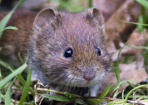Name:  vole.jpg
