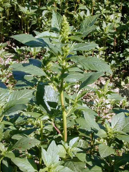 Name:  Amaranthus-retroflexus.jpg