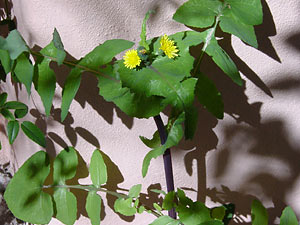 Name:  Sonchus_ole_300.jpg