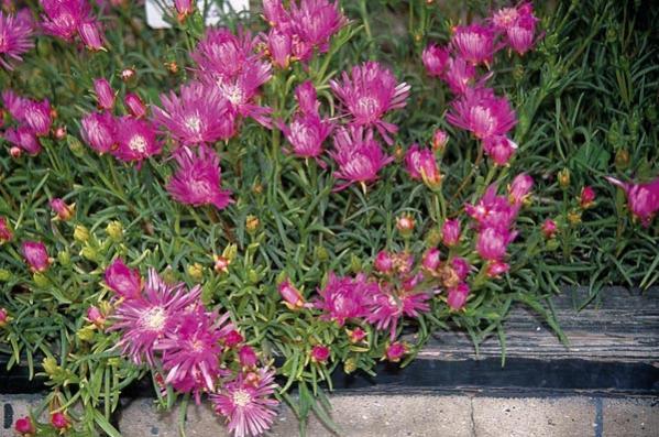Name:  Lampranthus-roseus.jpg Views: 18472 Size:  63.6 KB