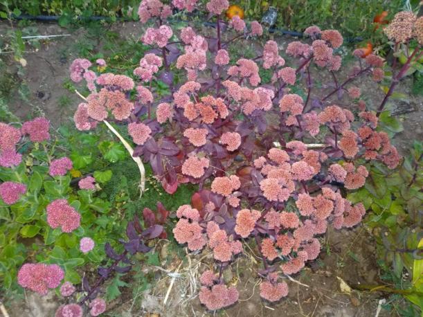 Name:  Sedum telephium Autumn Joy, Sedum spectabile 2.jpg Views: 226 Size:  71.6 KB