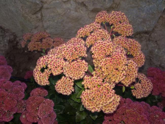 Name:  Sedum telephium Autumn Joy, Sedum spectabile 1.jpg Views: 212 Size:  63.1 KB