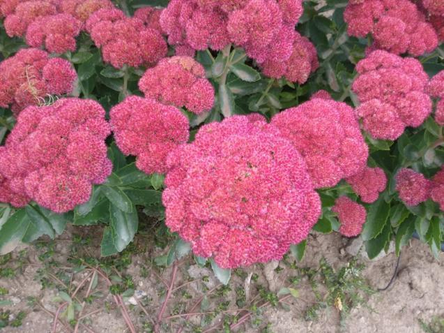 Name:  Sedum telephium Autumn Joy, Sedum spectabile.jpg Views: 209 Size:  70.3 KB