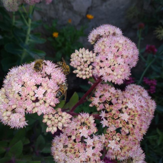 Name:  Sedum telephium Autumn Joy, Sedum spectabile 1.jpg Views: 140 Size:  69.6 KB