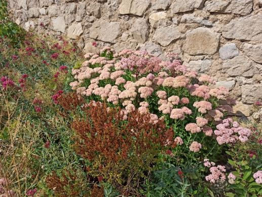 Name:  Sedum telephium Autumn Joy, Sedum spectabileilk halleri .jpg Views: 18 Size:  71.6 KB