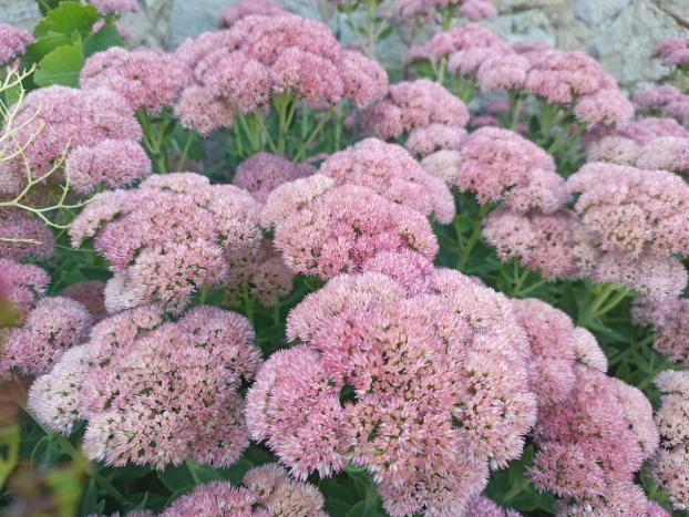 Name:  Sedum telephium Autumn Joy, Sedum spectabilekırmızı yeşil yapraklı .jpg Views: 18 Size:  71.3 KB