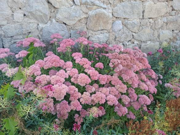 Name:  Sedum telephium Autumn Joy, Sedum spectabile pembeleşmiş halleri .jpg Views: 17 Size:  71.1 KB
