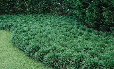 Name:  Ophiopogon japonicus-2.jpg Views: 23308 Size:  62.0 KB