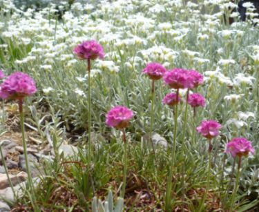 Name:  armeria-1.jpg