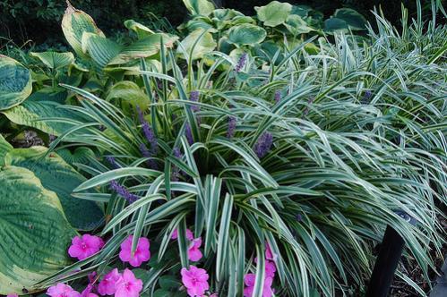 Name:  liope variegata.jpg Views: 5468 Size:  54.7 KB