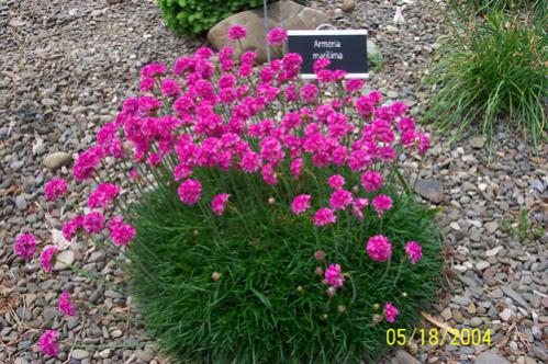 Name:  Armeria-maritima.jpg