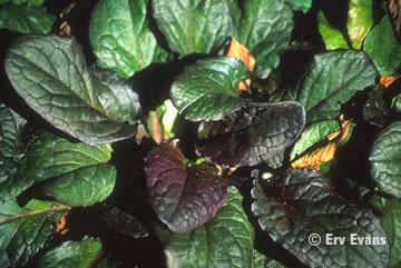 Name:  ajuga_reptans-junglebeaut.jpeg