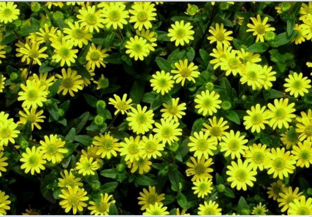 Name:  sanvitalia procumbens.jpg Views: 2239 Size:  70.7 KB