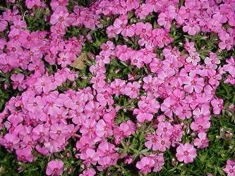 Name:  phlox.jpg