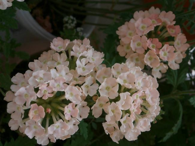 Name:  Verbena - Yer minesi02.jpg