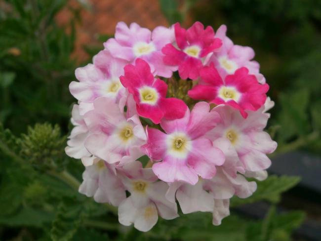 Name:  Verbena - Yer minesi04.jpg