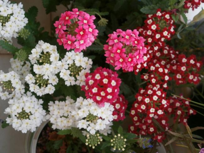 Name:  Verbena - Yer minesi06.jpg