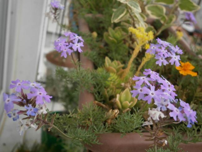 Name:  Verbena tenuisecta.jpg