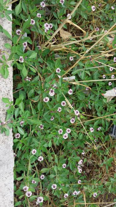 Name:  Libya çimi, Lippia repens.jpg