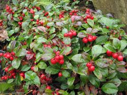Name:  Gaultheria.jpg