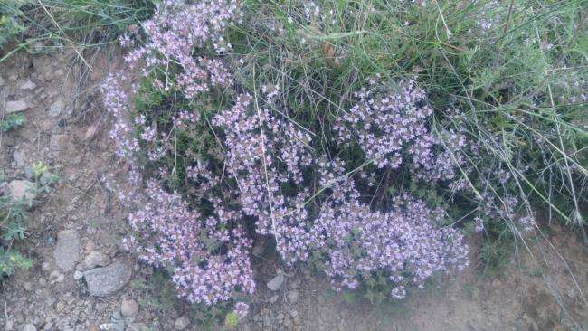 Name:  Creeping Thyme Yayılıcı kekik 11.jpg