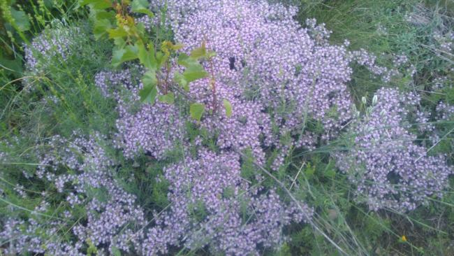 Name:  Creeping Thyme Yayılıcı kekik 14.jpg