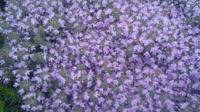 Name:  Creeping Thyme Yayılıcı kekik 17.jpg
