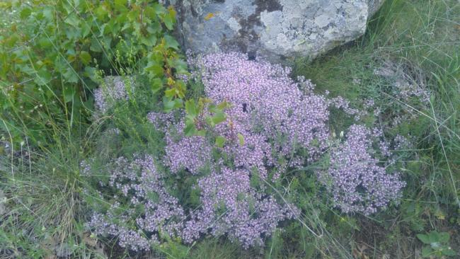 Name:  Creeping Thyme Yayılıcı kekik 19.jpg