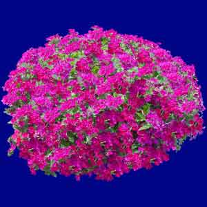 Name:  Verbena-Carolina-Rose-Basket.jpg
