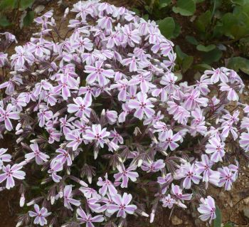 Name:  phlox2.jpg