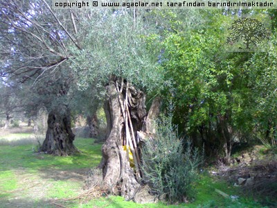 Odemis-salihli Yolu Uzerindeki Anit Agac