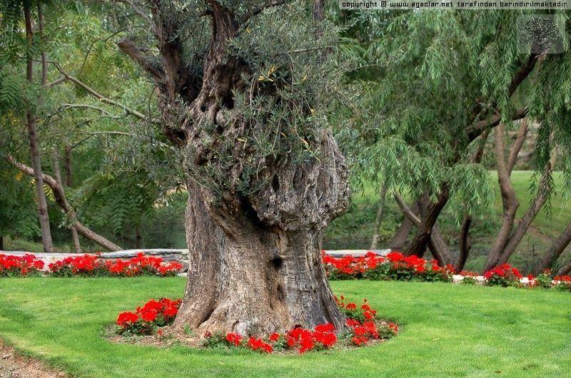 500 Yıllık 2 Zeytin Ağacı