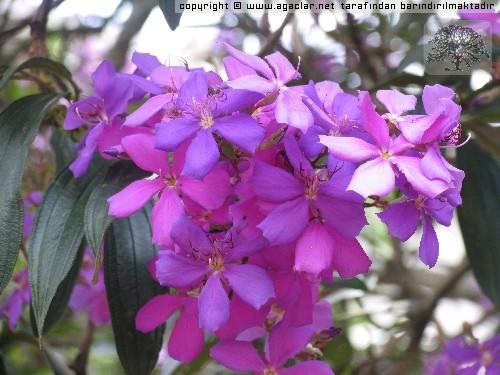 Mor çiçekli ağaç