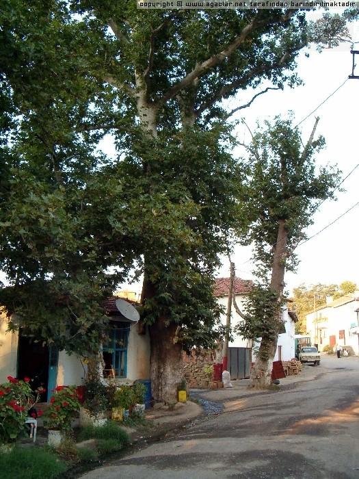 Naip Köyünün Anıt Çınarları