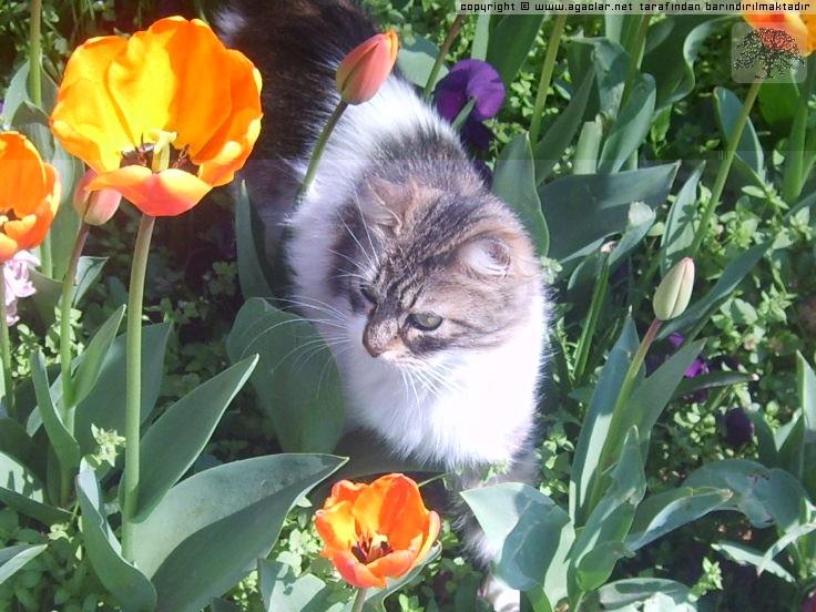 Gülhane Parkı'nda Laleler Arasında Kedi