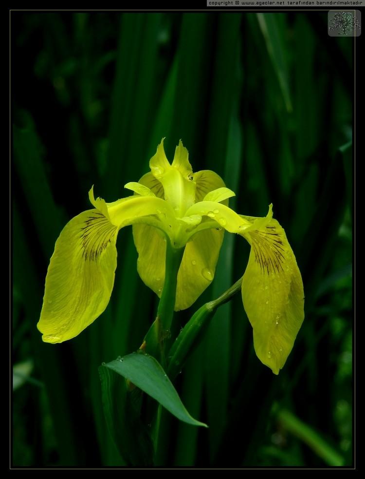 Iris pseudocorus - Bataklık süseni