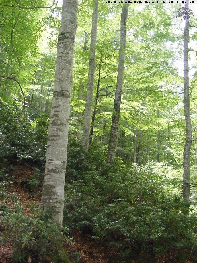 Kayın Ormanı