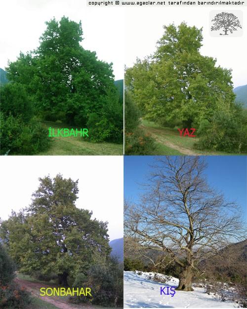 Çınar Ağacının 4 Mevsimi.