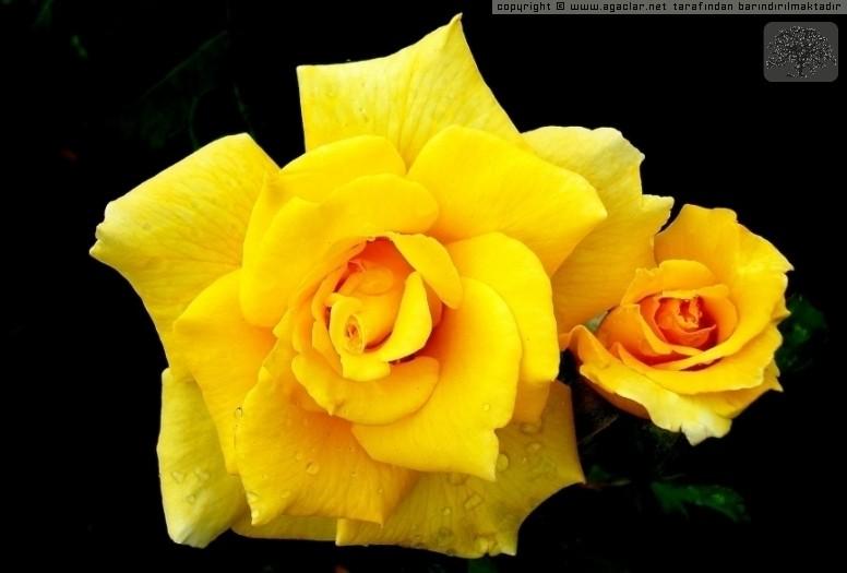 Sarı Güllerim
