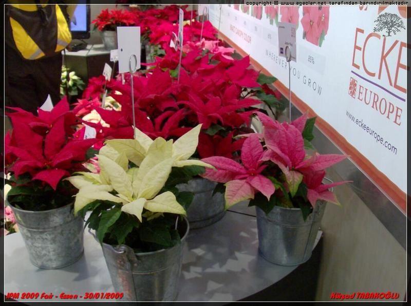 Atatürk Çiçeği - Poinsettia