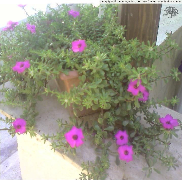 Saksıda,ipek çiçeğim