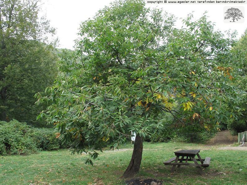 Albüm içeriği hakkında açıklama: bu genç ağacı, güzeldere