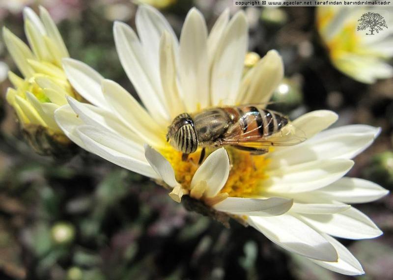 Beyaz Kasımpatı Ve Arı