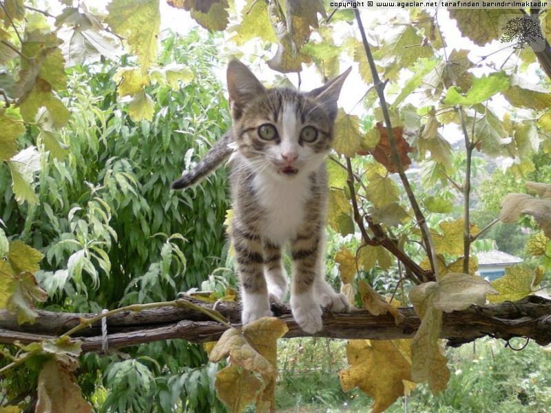 Şirin Kedicik