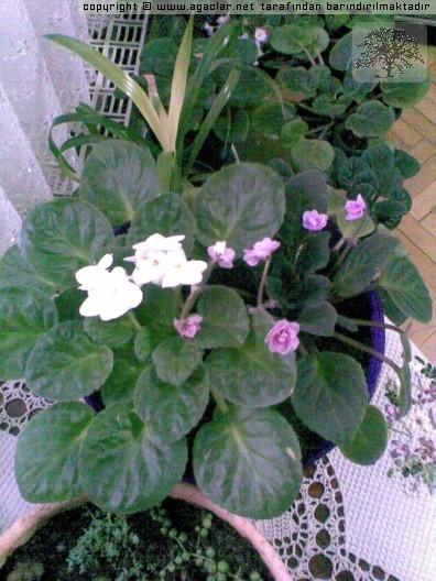 Süs bitkileri çalılar sarılıcılar yer örtücüler süs