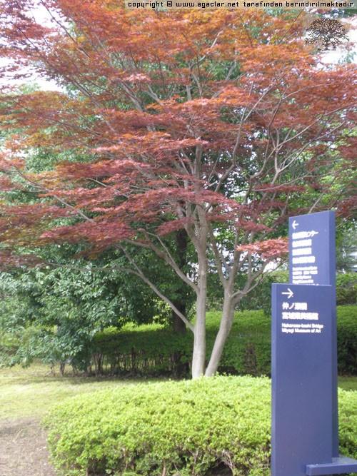 Japonya'da Ağaçlar -3