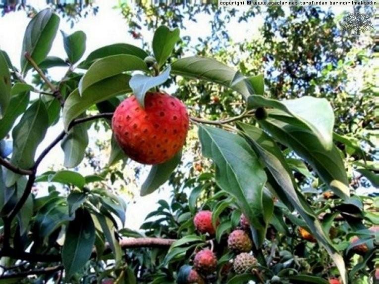 Japon Cilek Agaci(japanese Strawbery Tree)