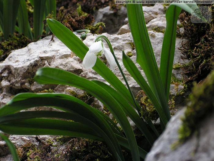 Galanthus elwesii ( Anadolu Kardeleni )