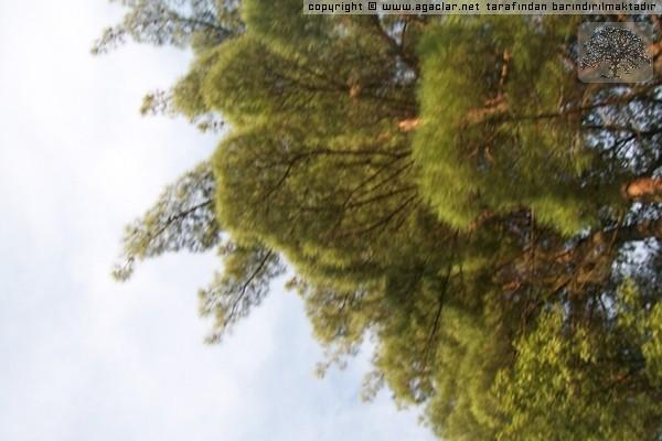 Doğanın Yaz Kış Güzelliğini Bozmayan En Güzel Ağacı
