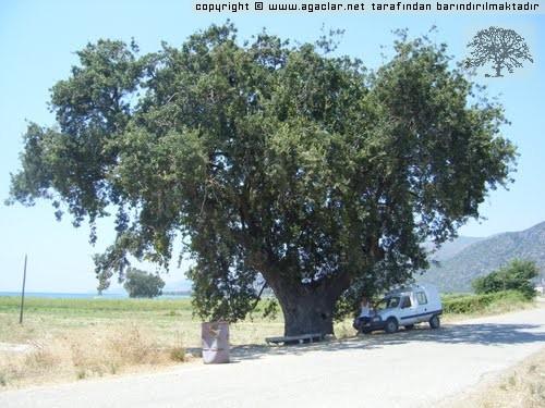 Milas örendeki Anıt Ağaç